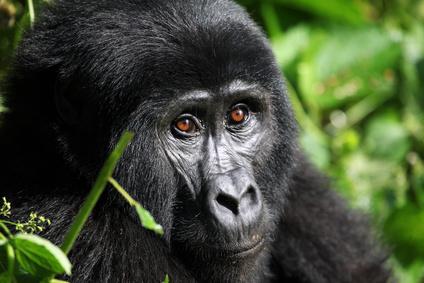 Gorilla, ein Pflanzenfresser